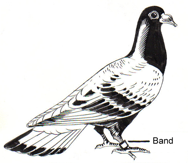 Carrier Pigeon with Band